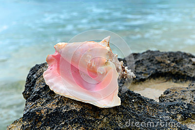 Conch Shell on Rock
