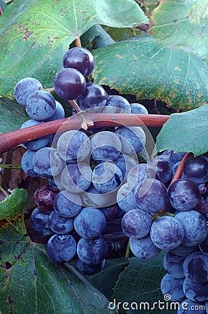 Free Concord Wine Grapes Stock Image - 670161