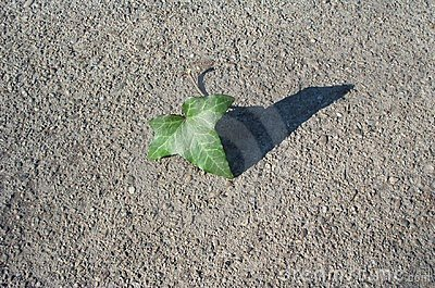 Concrete texture and ivy leaf
