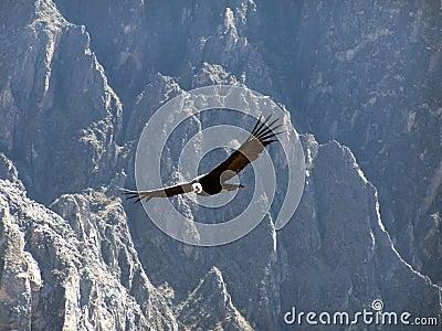 Condor