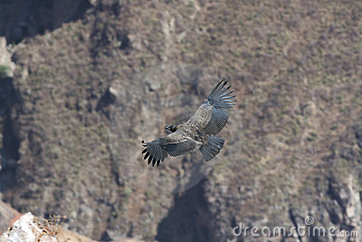 Condor in canyon