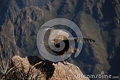 Condor in Peru