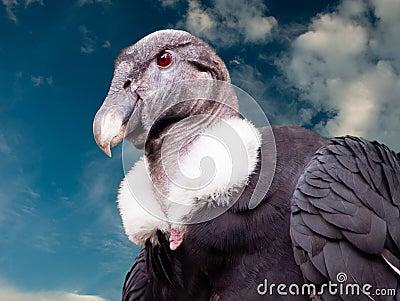 Proud Condor