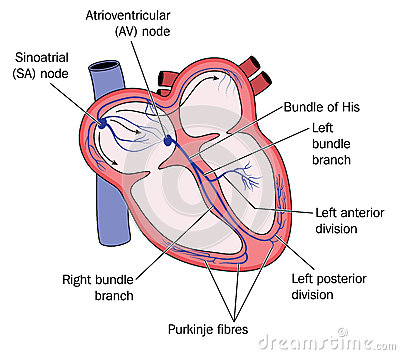 conduction system of heart pdf