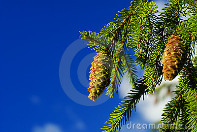 Cone on branch