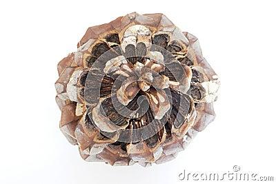 Cone of a cedar tree