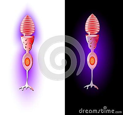 Cone cells. Vector
