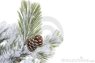 Cone on fir tree