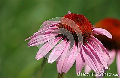 Cone flower - echinaccea