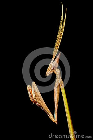 Cone-headed Mantid