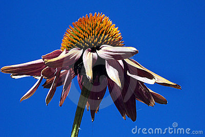 Coneflower against a blue sky