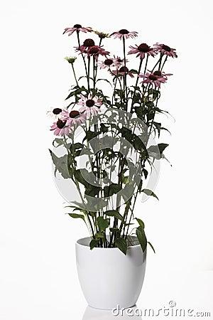 Free Coneflowers (Echinacea Purpurea) In Flower Pot Royalty Free Stock Photo - 50486705