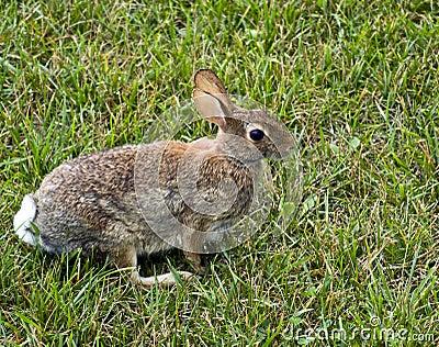 Conejo de conejo de rabo blanco del este