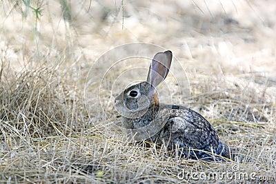 Conejo de conejo de rabo blanco salvaje