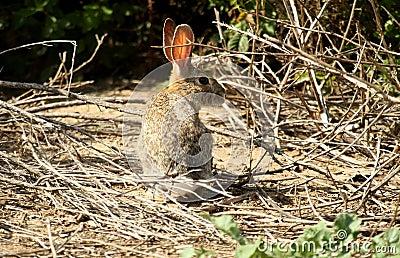 Conejo marrón salvaje