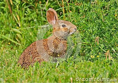 Conejo salvaje en la hierba