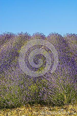 Conero (Ancona) - Field of lavender