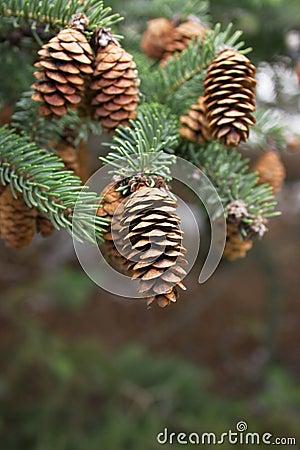 Free Cones And Needles Stock Photo - 17267850