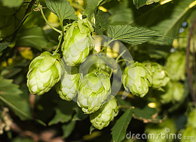 Cones and leaves of hops