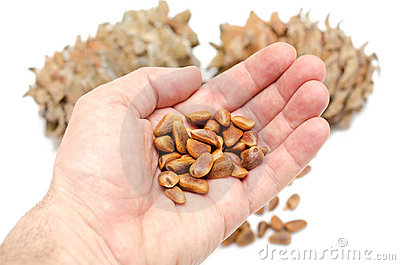 Cones and Nuts of Siberian Cedar Pine in hand