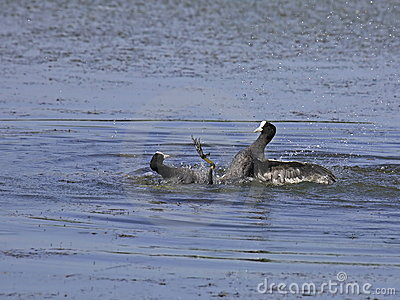 Conflict between coots