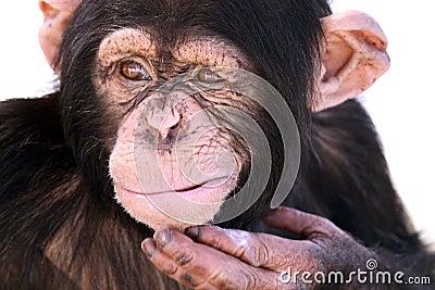 Confused Chimpanzee