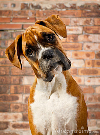 Confused Dog Stock Photos - Image: 23631183