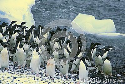 Confusion - startled penguins