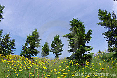Conifer with dandelions