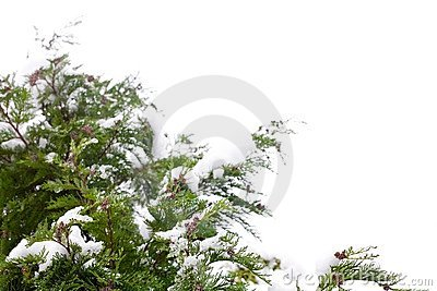 Conifer and snow
