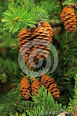 Free Conifer Tree Stock Photo - 11348990