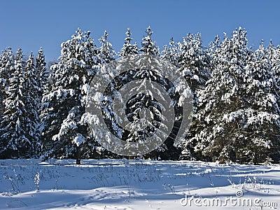 Coniferous forest under snow