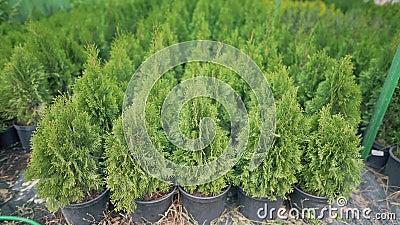 Conjunto de hermosos coníferas evergreen thuja al aire libre Agricultura, plantas cultivadoras para mantener la ecología y la ren almacen de video