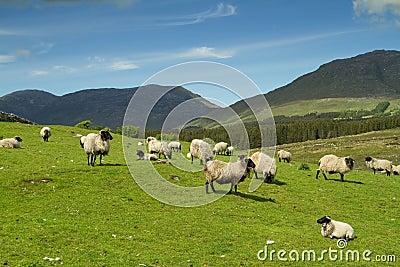 Connemara mountains sheep