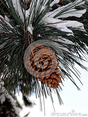 Cono grande del pino