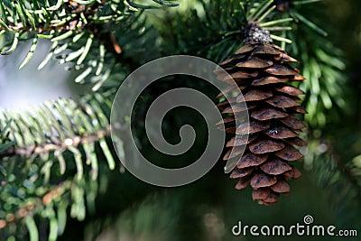 Cono y árbol de hoja perenne del pino