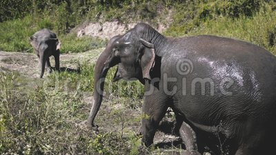 Conservación de Tailandia en el santuario de elefantes asiáticos almacen de metraje de vídeo