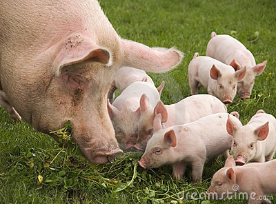 Consumición de cerdos