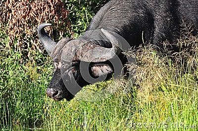 Consumición del búfalo