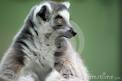 Contemplating Lemur