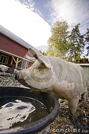 Content Pig