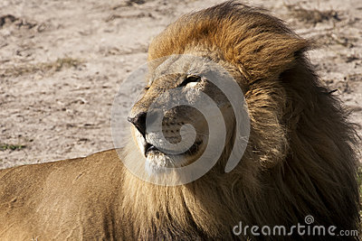 Contented Adult Male Lion Basking in the Sun