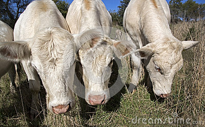 Contented cows in a pasture