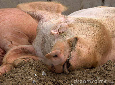 Contented Pig