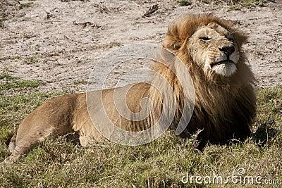 Contented regal lion