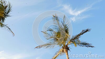 Contre le ciel bleu avec des nuages, dans les branches de vent de grands palmiers développez-vous, dans le ciel qu'un troupeau de clips vidéos