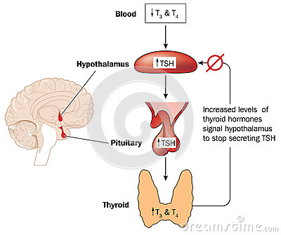 male hormone secreted by the testes