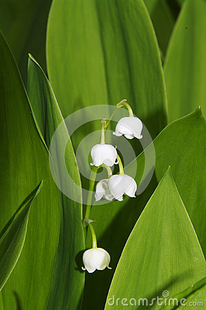 Convallaria majalis  /  Lily of the Valley