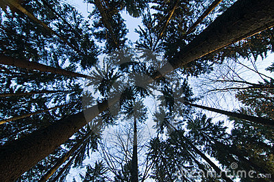 Converging pine trees