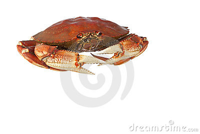 Cooked dungeness crab isolated on white
